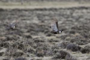 Western governors want a say as sage grouse plans are reviewed