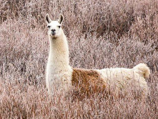 Llama has dental surgery to get at root cause of past escape