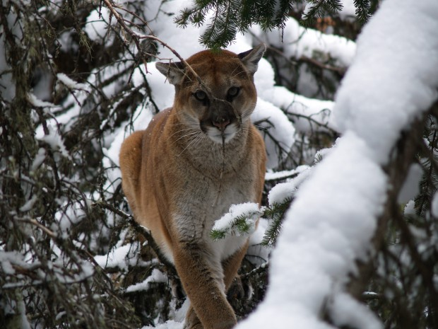 Mountain lions were treed in the winter to capture them for collaring