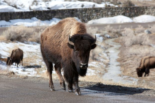 Bison as the national mammal