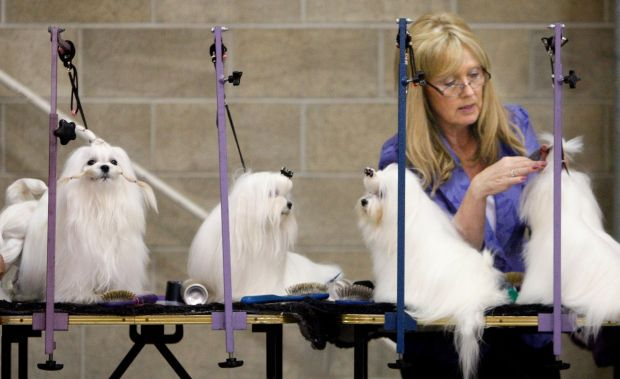 Paula Bailly of Casper grooms a Maltese