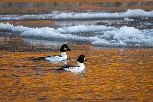 Photo: Ducks swim in icy Yellowstone River