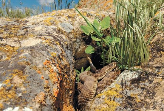 Much of Montana home to prairie rattlesnake