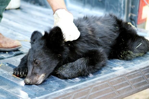 Burned bear cub