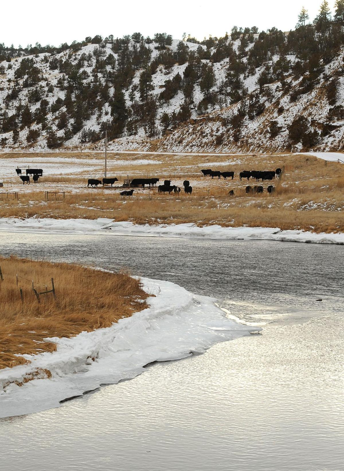 Cattle graze Diamond Cross Ranch