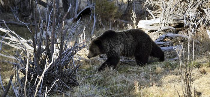 Fewer grizzly bears were euthanized at Yellowstone this year