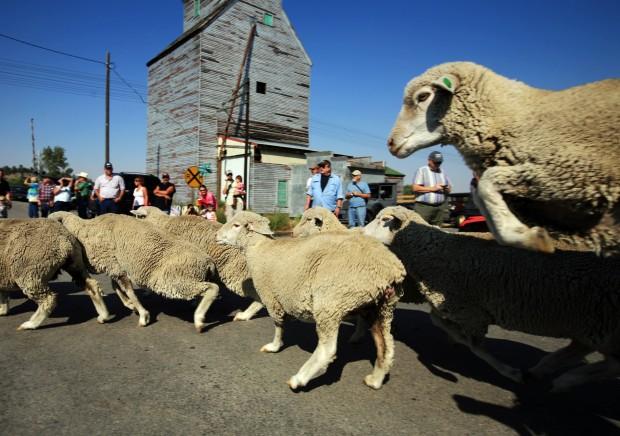 Sheep round the corner of Division Street