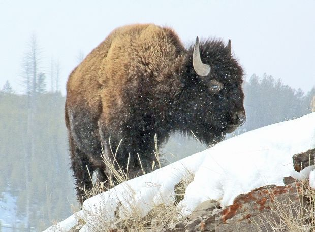 A Yellowstone National Park bison