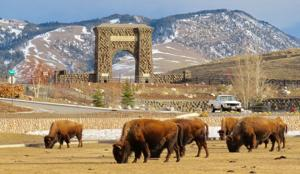 Bison 'butts' visitor taking photos in Yellowstone; woman flown to Idaho hospital