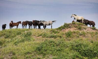 Wild ponies removed from Theodore Roosevelt National Park to thin herd, auctioned off