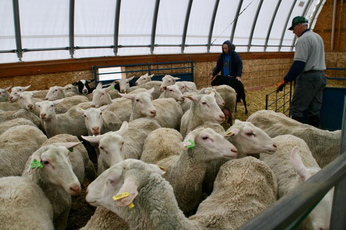 KJ'n Ranch milk sheep