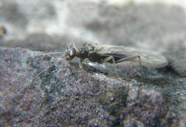 Meltwater stonefly