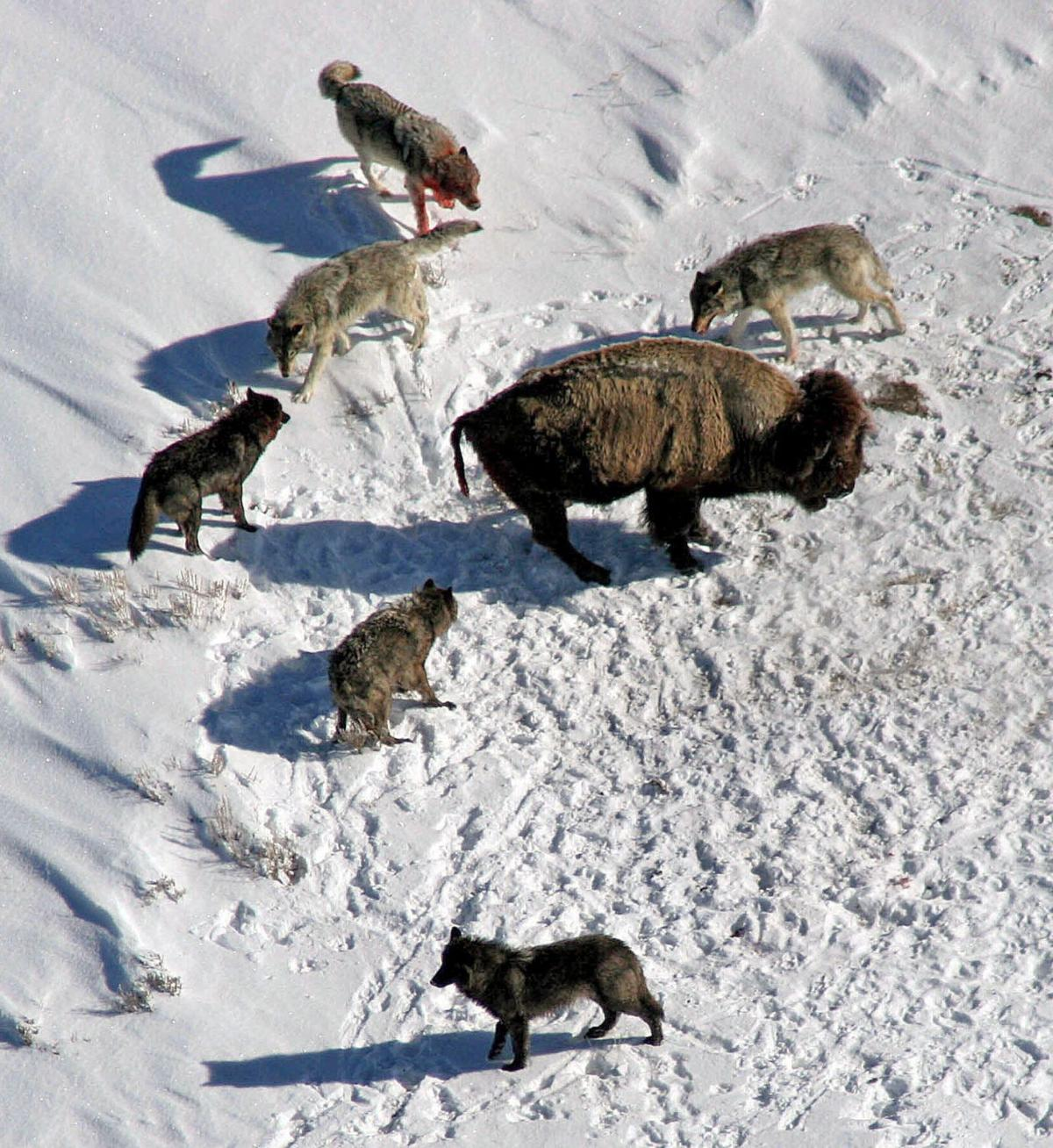 Bison feed wolves