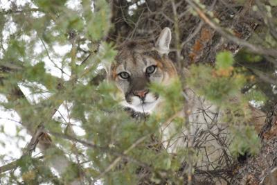 3 Livingston men sentenced for killing Yellowstone mountain lion