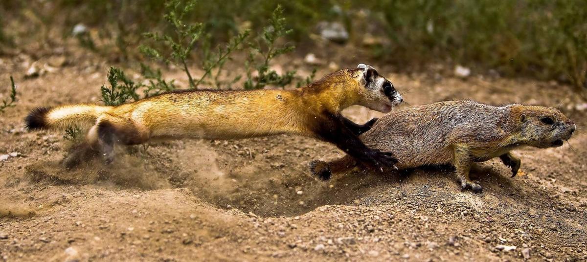 Plague vaccine for prairie dogs