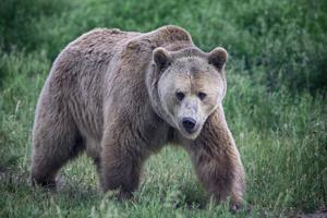 Group petitions Wyoming governor to put off grizzly hunt