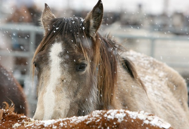 A horse, covered in snow, waits in a holding pen