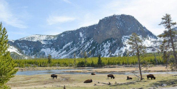 Bison sun themselves