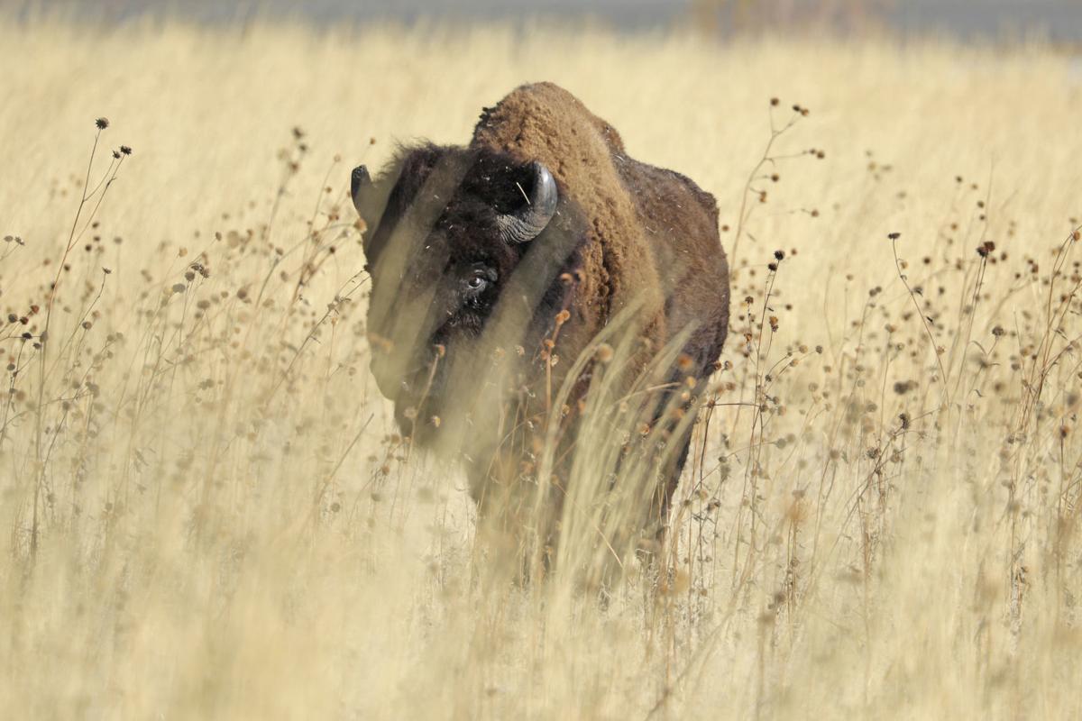 Bison Genetic Diversity