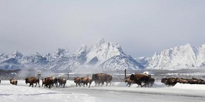 Bison move