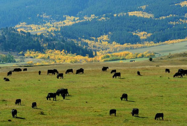 LOC111314-cattle1LM.jpg