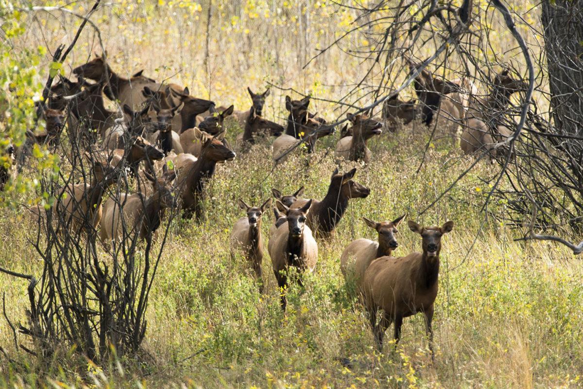 cow Elk Missouri River Breaks