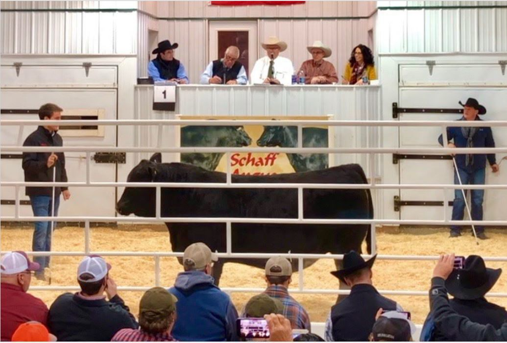 Huge bull