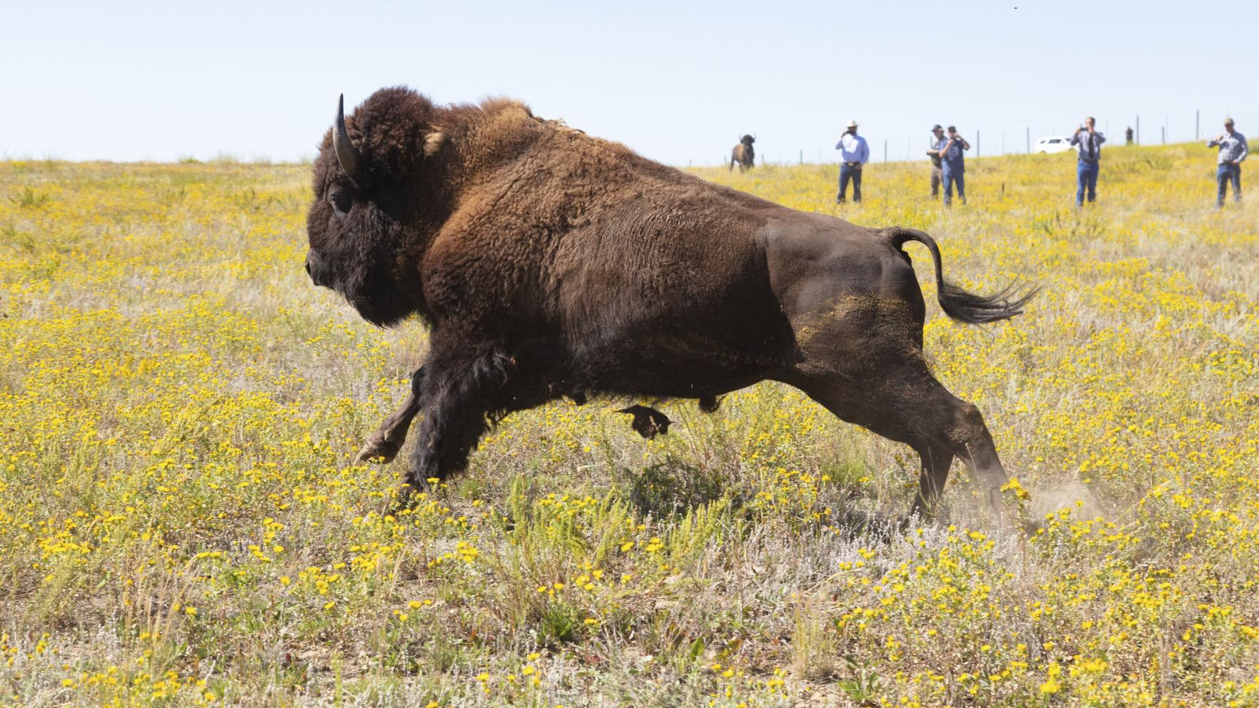 Wildlife officials nix protections for Yellowstone bison, in favor of protecting rare bee and squirrel