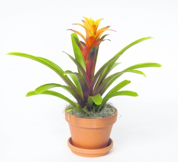 Easy to care for bromeliads make excellent house plants for Easy to care for outdoor flowering plants