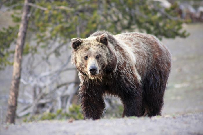 Feds' appeal says federal judge in Missoula overstepped in grizzly delisting case