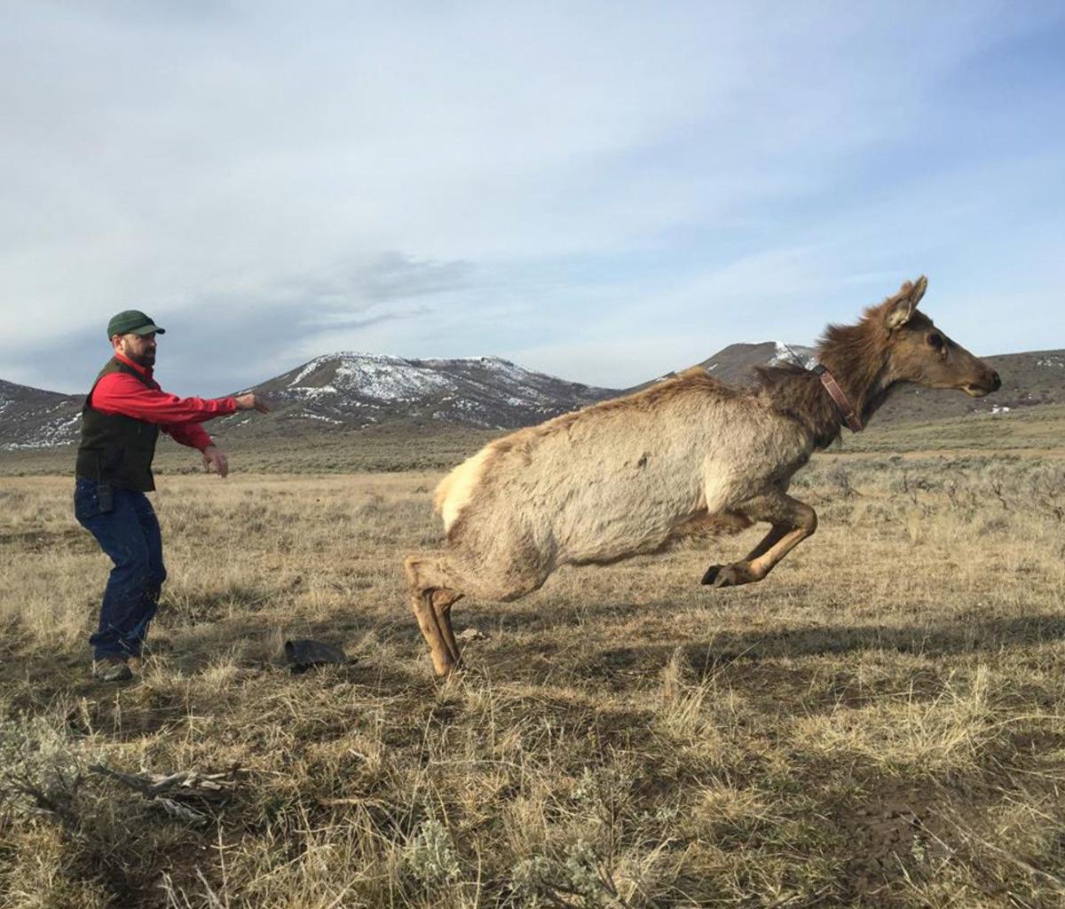 Elk release