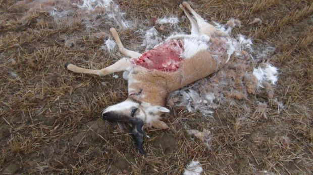 Antelope poached