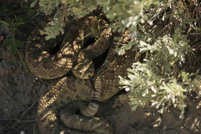 Tips for avoiding rattlesnakes this summer | Montana Untamed