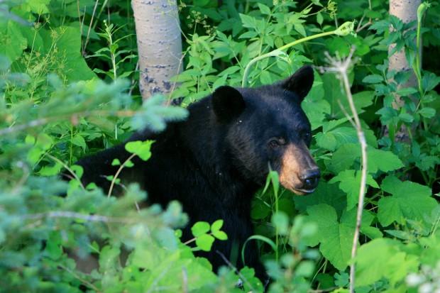 Black bear in thimbleberry bushes