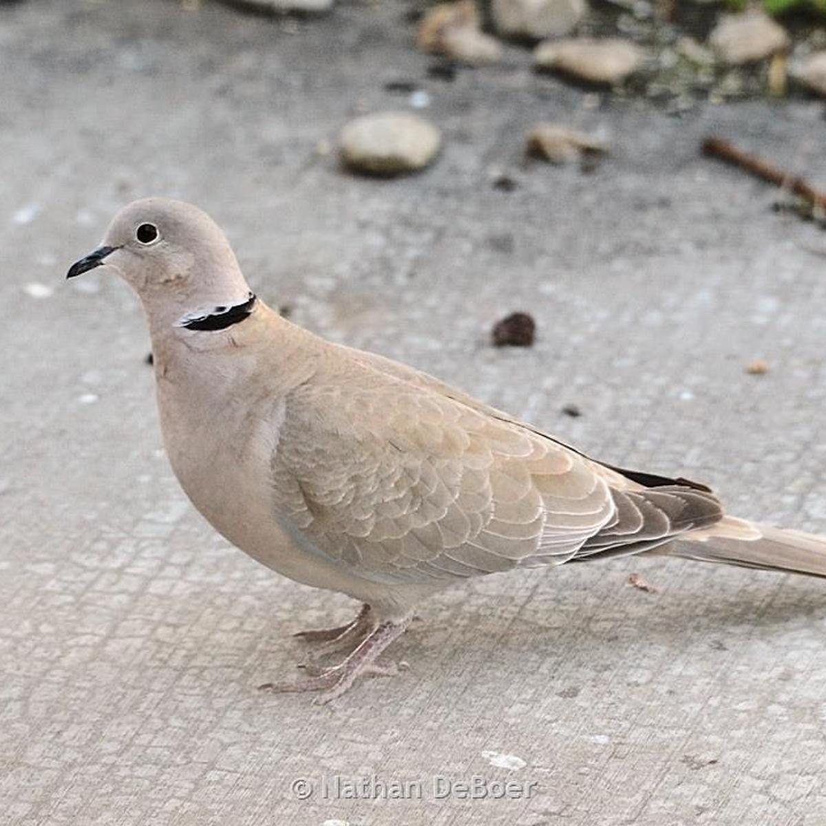 Eurasian collared doves being killed by virus outbreak | Outdoors |  billingsgazette.com