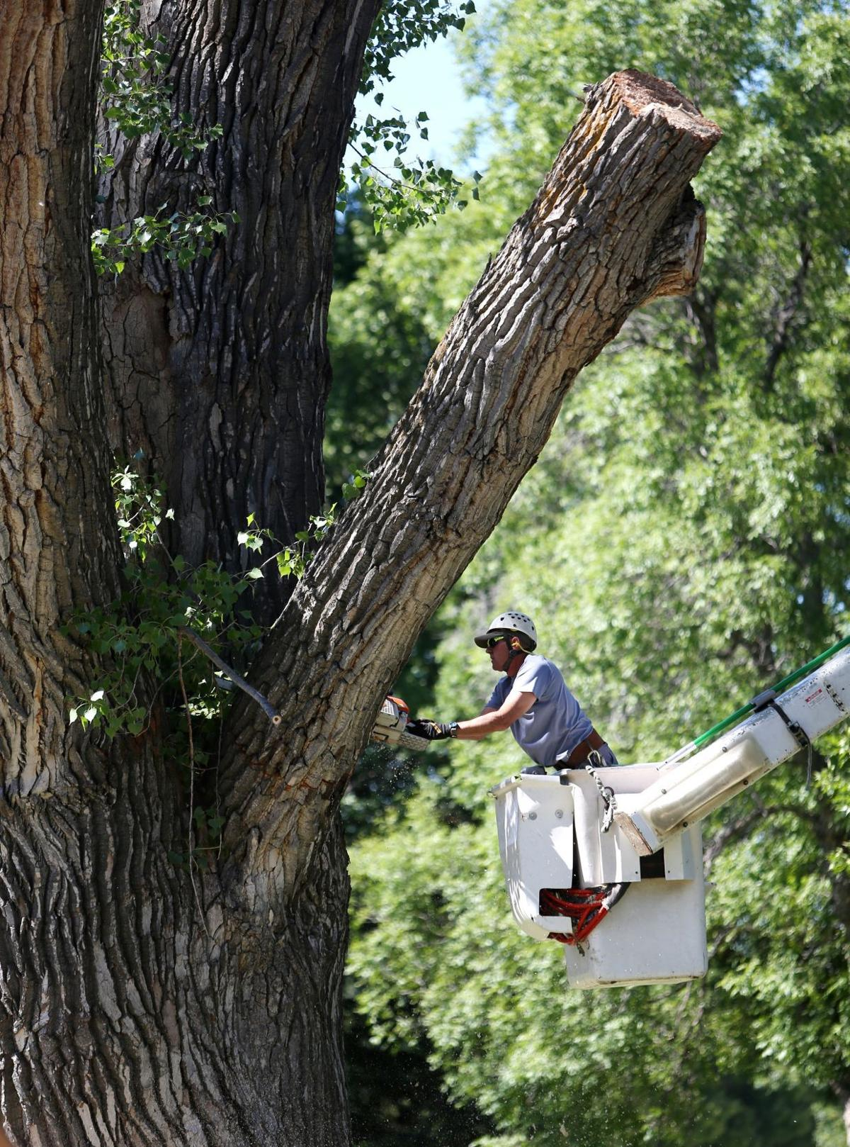 Cottonwood tree removal