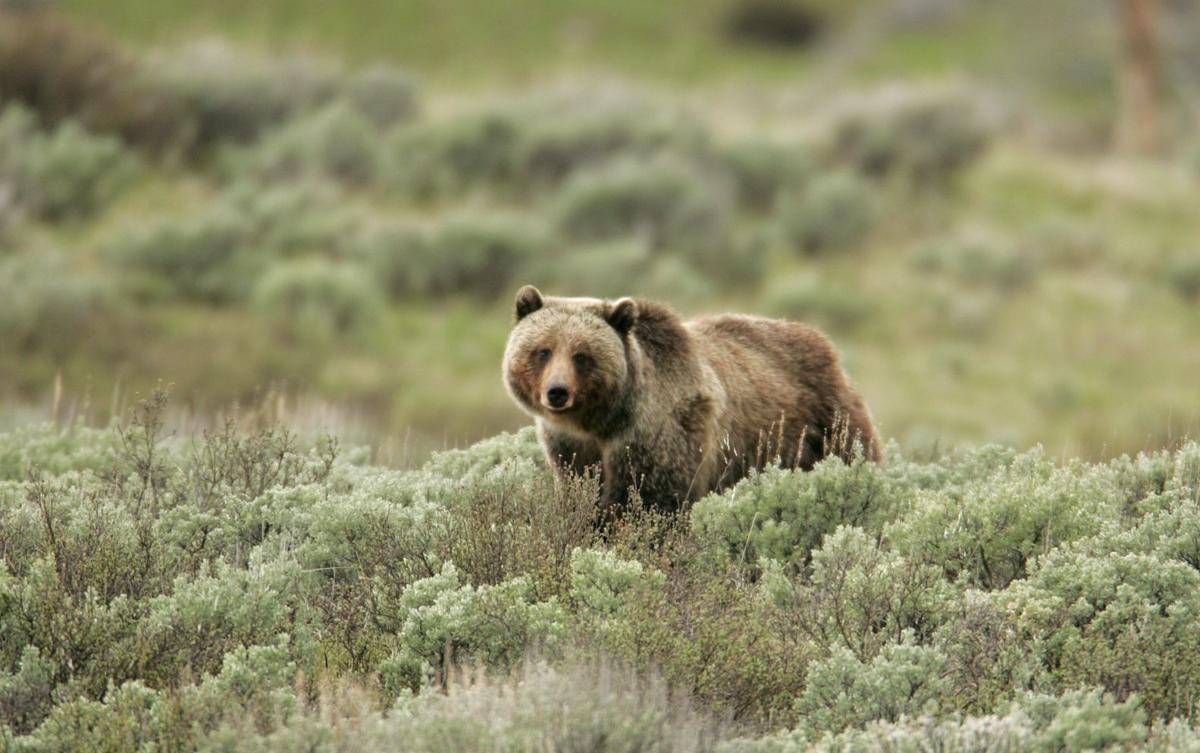grizzly bear essay Grizzly bear lodge case study essay 892 words | 4 pages case study: the grizzly bear lodge diane and rudy conrad own a small lodge outside of yellowstone national park called the grizzly bear lodge.