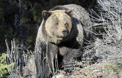 Grizzly implicated