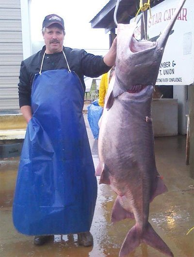 New state record paddlefish in north dakota gazoutdoors for Missouri river fishing report south dakota