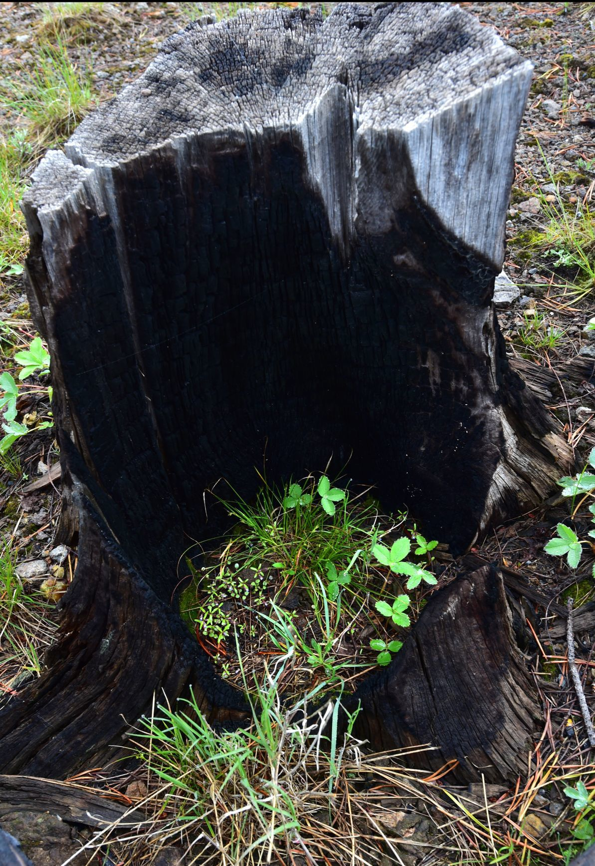 Fire stump new growth
