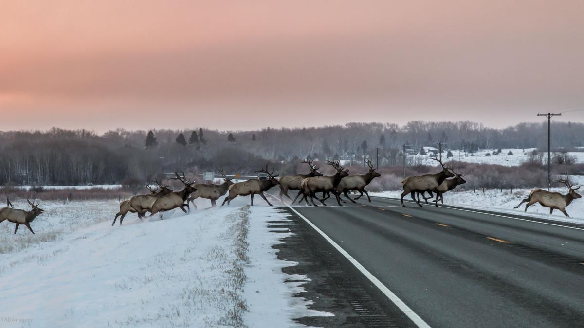 Herd of bull elk cross Highway 12