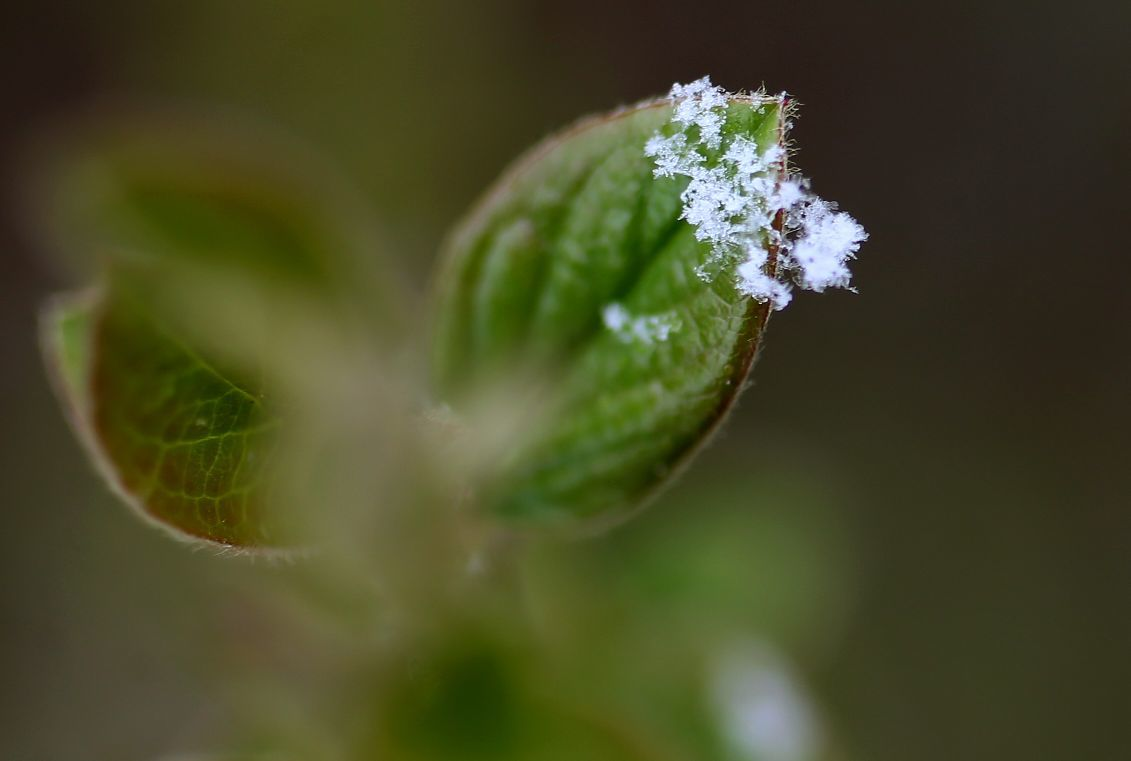 Tiny snowflakes cling to a new leaf