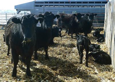 Martin cattle