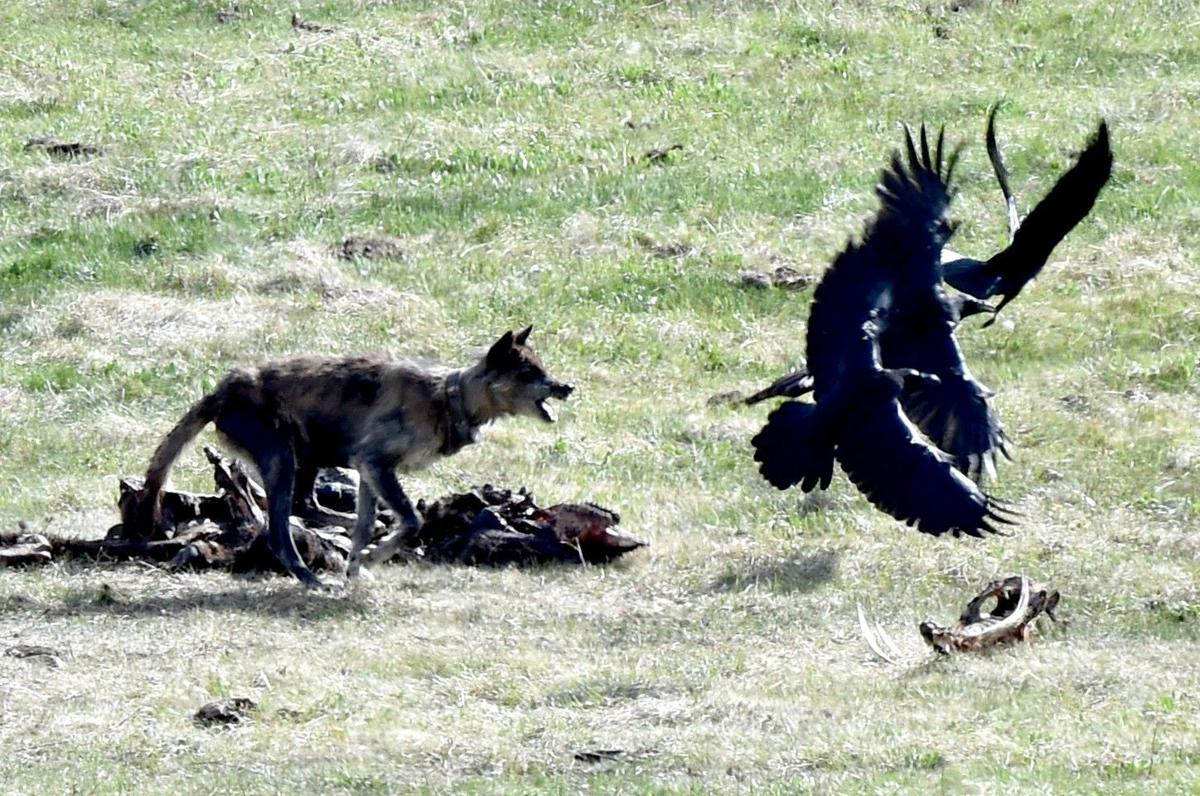 Carcass tussle