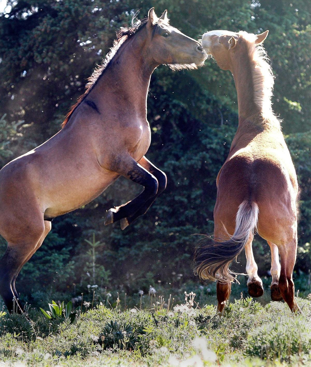 Wild horses spar