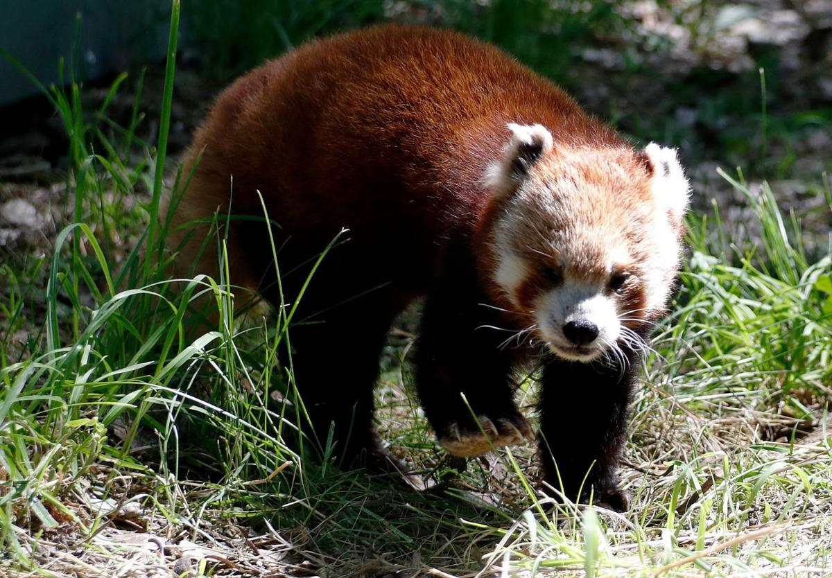 Taylor the red panda