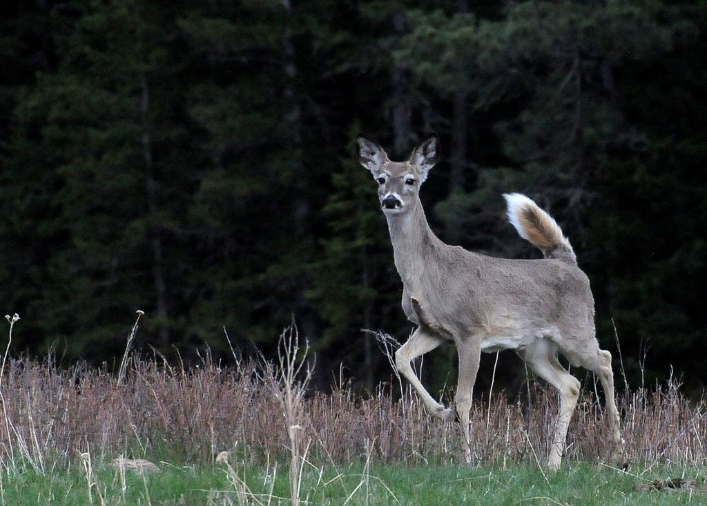 Wyoming authorities check hunters' deer for chronic wasting