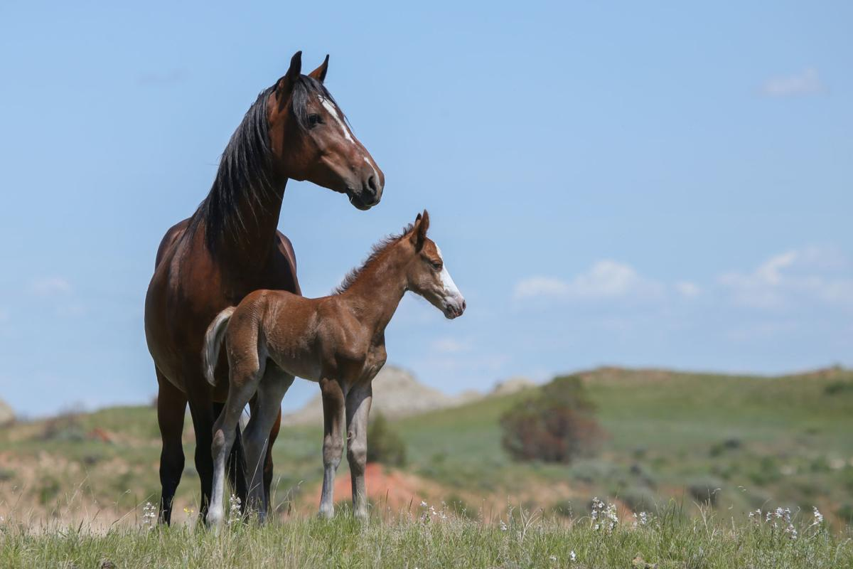 Mare Firefly watches over her filly, Anzar