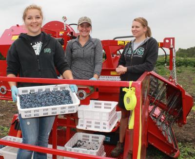 Haskap berries are picking up steam in Montana