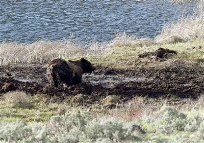 Yellowstone begins grizzly bear trapping
